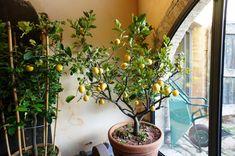 Neveljünk fügefát a kertünkben – Szakértőnk hasznos tanácsai! negyedik oldal Plants, Minden, Plant, Planets