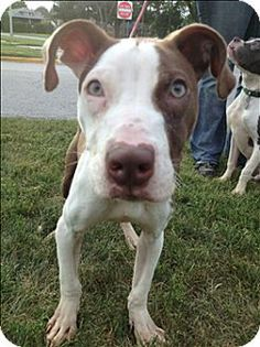 Chicago Heights, IL - Gizmo ID# 12288: male Pit Bull Terrier mix; 1 year. Gizmo is a high-energy boy with lots of love to share. I was rescued in a cruelty case, but love people of all ages anyway. I've been to church school and nursing homes, and live with three foster siblings. Gizmo needs a forever family to play and cuddle with. Contact the South Suburban Humane Society at 708-755-7387 or http://www.southsuburbanhumanesociety.org/