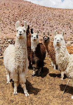 Llama This series is produced by Pampa Co-Founders Victoria Aguirre and Carl Wilson. These images were taken during their travels in Northern Argentina and [. Cute Funny Animals, Cute Baby Animals, Farm Animals, Animals And Pets, Cute Dogs, Alpacas, Cute Llama, Animal Memes, Animal Kingdom
