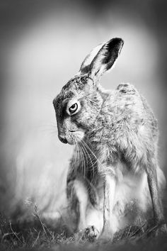 After hours spent watching hares in Suffolk, I was suddenly aware of a change in the hares behaviour. He paused, sniffed the air and stared straight at me , a dark and wild look in his eye. A second later he was gone.