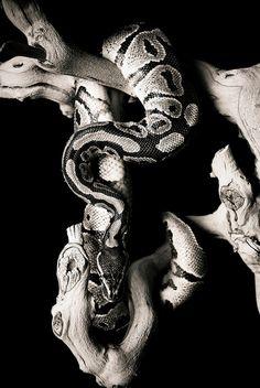 snake, ball python