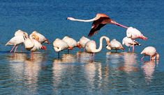 Close up to the Flamingos. Lo Pagan, Costa Blanca Spain.