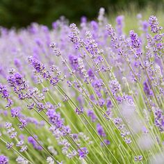 'Folgate' English Lavender - A top pick for growing as a low hedge, 'Folgate' presents a tidy shape and dark purple flowers on long stems in early summer. It's a wonderful choice for fresh or dried flowers.