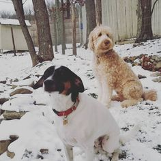 #houndmix #rescuedog #goldendoodle #goldendoodlesofinstagram #montclairdogs