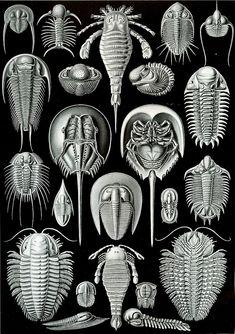 Haeckel Aspidonia - Kunstformen der Natur - Wikimedia Commons