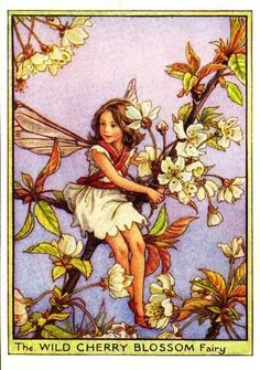 This beautiful Wild Cherry Blossom Flower Fairy Vintage Print by Cicely Mary Barker was printed and is an original book plate from an early Flower Fairy book.Cicely Barker created 168 flower fairy illustrations in total for her many books. Cicely Mary Barker, Fairy Pictures, Cherry Blossom Flowers, Pear Blossom, Vintage Fairies, Beautiful Fairies, Flower Fairies, Flowers Garden, Fantasy Illustration