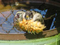 Robin In Bath.  Photo by Frederick Meekins