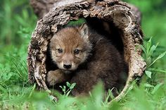 WOLF PUPS Photo:  This Photo was uploaded by feetys. Find other WOLF PUPS pictures and photos or upload your own with Photobucket free image and video ho...