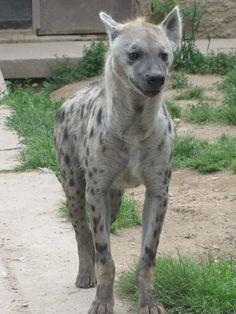 Spotted Hyena 05 by animalphotos on DeviantArt