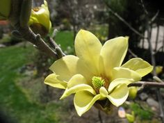 Magnolia 'Butterflies' by the honeytreenursery: In early spring, 'Butterflies' is covered with  the deepest yellow of any magnolia. The four to five inch, semi-double blooms sit upright on their otherwise naked branches - just as a butterfly would. #Magnolia #Yellow_Magnolia