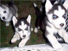 malamute puppies halifax
