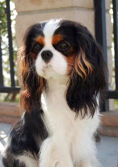 King Charles Cavalier - what a Beauty