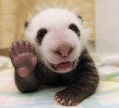 Say hi! Panda cubs wave, relax in adorable pics - TODAY.com