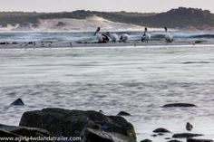 Pelicans aren't shy at Policemans Point, Tasmania. www.agirla4wdandatrailer.com