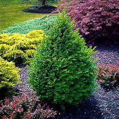 Green Mountain Boxwood shrubs are a vigorous evergreen pyramidal Boxwood with bright green foliage that retains good color throughout winter. Boxwood Landscaping, Modern Landscaping, Front Yard Landscaping, Backyard Landscaping, Landscaping Ideas, Inexpensive Landscaping, Front Walkway, Backyard Ideas, Green Mountain Boxwood