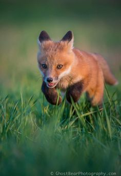 Red Fox Cub by Ghost Bear Photography - GhostBearPhotography