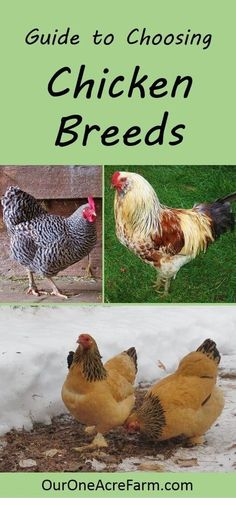 Want backyard chickens for eggs? For a cold climate? For a hot climate? For children? For showing? How about the best breeds are for a very small space? Here's a great guide to choosing chicken breeds to help you choose j Backyard Chicken Coops, Chicken Coop Plans, Building A Chicken Coop, Diy Chicken Coop, Backyard Farming, Chickens Backyard, Chickens And Roosters, Pet Chickens, Urban Chickens