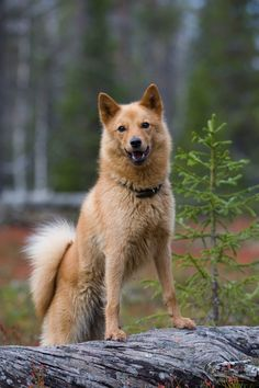 Spitz Breeds, Lovey Dovey, Hunting Dogs, Animal Drawings, Finland, Animals And Pets, Best Dogs, Husky, Corgi