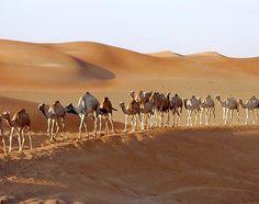 And finally... Camels in the Liwa Oasis of Abu Dhabi, UAE
