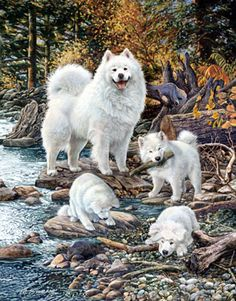 Trail Blazers Limited Edition Print - Samoyed -  by Margaret Sweeney