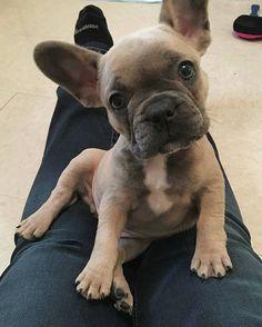 G E O R G E Regram of @frenchie.george . #frenchbulldog #frenchbulldogpuppies…