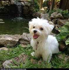 maltese dog - Google Search