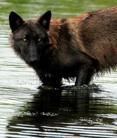 A Black Wolf Getting Cooled off in a Stream.