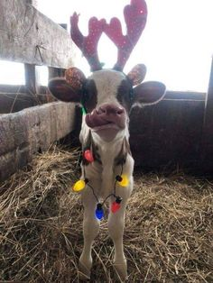 These 18 Funny Animals Will Cheer You Up – Rugged Traveller Cute Baby Cow, Baby Animals Super Cute, Baby Cows, Cute Cows, Cute Little Animals, Cute Funny Animals, Funny Looking Animals, Baby Farm Animals, Baby Animals Pictures