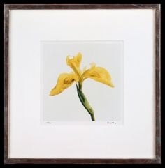 Lord Snowdon | Flag Iris | Limited Edition Photograph, part of a set of 8 | 10 x 8 inches | £1,450 (for the set, unframed)  These photographs come as a portfolio; there are eight photographs in the set. Each image has been signed by Lord Snowdon. Princess Margaret, Unique Flowers, King George, Iris, Small Spaces, Photographs, Lord, Flag, Colours