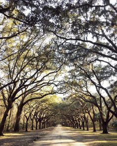 """""""I felt like I had stepped back in time walking under these 100+ year-old live oaks draped in Spanish moss.  The mile and a half long oak avenue was more…"""""""