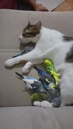 Family rest of a cat and parrots Unlikely Animal Friends, Image Chat, Quatro Patas, Budgies, Cute Cats, Funny Cats, Cute Funny Animals, Crazy Cats, Abba Father
