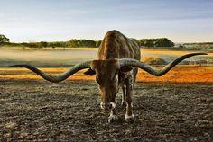 Texas Longhorn                                                                                                                                                                                 Más