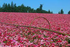 Flower fields near Silverton Or.