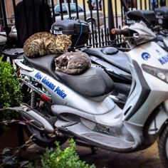 Sleeping on the job  #fluffylocals #catsofinstagram #cats #catsofnola #police #cops #kitty #catnap #mardigras #frenchquarter by fluffylocals