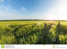 Photo about Landscape is a wheat field at sunset, countryside in Ukraine - 105122474
