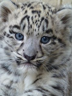 Male Snow Leopard Cub, Twycross Zoo, photo by Nicola Williscroft. Baby Animals Pictures, Cute Animal Pictures, Cute Baby Animals, Animals And Pets, Wild Animals, Pretty Cats, Beautiful Cats, Animals Beautiful, Big Cats