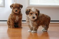 Yorkie Poo puppies for sale