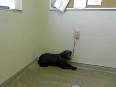 LADY-ID#A677788  My name is LADY.  I am a female, black and white Rottweiler mix.  The shelter staff think I am about 1 year old.  I have been at the shelter since Jun 10, 2013.