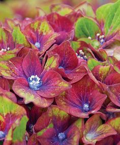 Take a look at this Live 'Pistachio' Hydrangea Plant - Set of Two today!