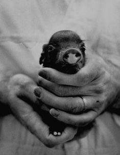 A picture of a baby pig in the palms of a mans hand. May Photographer: Wallace Kirkland Cute Creatures, Beautiful Creatures, Animals Beautiful, Tiny Pigs, Pet Pigs, Teacup Pigs, Super Cute Animals, Adorable Animals, Cute Piggies