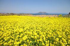 제주 유채꽃 - Google 검색