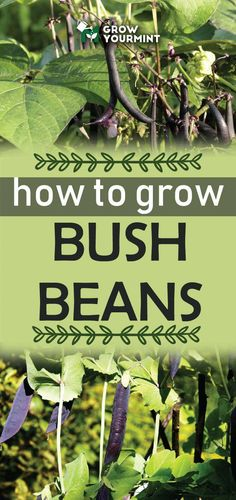 To Grow Bush Beans – And Get A Healthy Helping Of Protein From Your Garden How to grow bush beans - the protein rich sources we all need.How to grow bush beans - the protein rich sources we all need. Fall Vegetables, Organic Vegetables, Growing Vegetables, Veggies, Gardening For Beginners, Gardening Tips, Growing Bush Beans, Bean Garden, Garden Pests