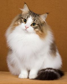 Norwegian Forest Cat, my all time favorite breed. Sweetest, smartest, and most full of individual personality. They're very social too, and friendly, but not at all needy. Most perfect cat, ever.