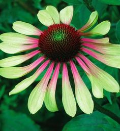 PBCO) GREEN ENVY Coneflower~Seeds!!!!~~~~~~Stunning Color!!!