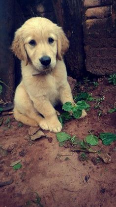 Golden puppy