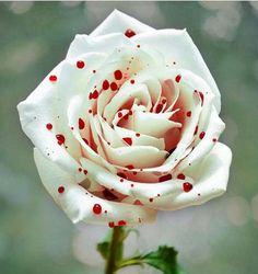 Red and White spotted rose                                                                                                                                                      More
