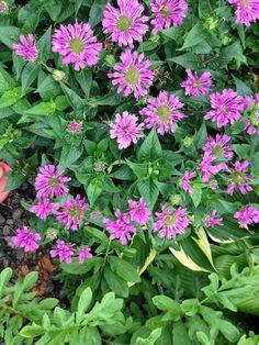 Bee balm Exotic Flowers, Tropical Flowers, Cut Flowers, Fresh Flowers, Wild Flowers, Seasonal Flowers, Flowers Perennials, Landscape Design, Flower Arrangements