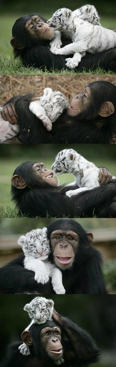 Chimp and baby tiger in photo session