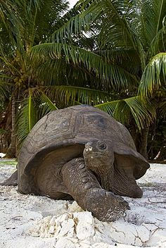 Aldabra Giant Tortoise (Aldabrachelys gigantea) found on the islands of the Aldabra Atoll in the Seychelles, and is one of the largest tortoises in the world. Sulcata Tortoise, Giant Tortoise, Tortoise Turtle, Seychelles Africa, Praslin Seychelles, Animals Of The World, Animals And Pets, Cute Animals, Isla Galapagos