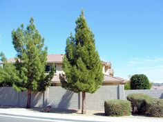 Afghan Pine Trees, Pinus eldarica. Also Called: Pinus brutia subsp. eldarica, Eldarica Pine, Desert Pine, Mondell Pine, or Elder Pine. Xeriscape Landscaping Plants For The Arizona Desert Environment. Pictures, Photos, Information, Descriptions, Images, & Reviews. Trees.